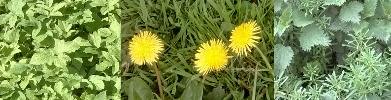 ground elder dandelion nettle cleavers