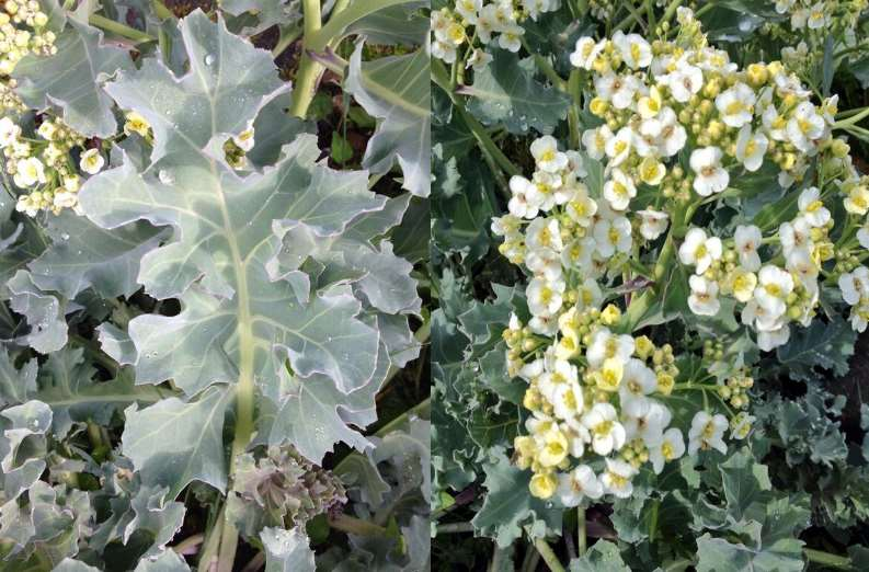 sea kale leaf and flowers